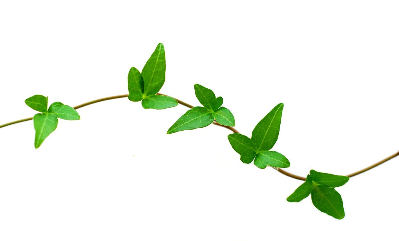 1240x750 Ivy Clipart Ivy Leaf