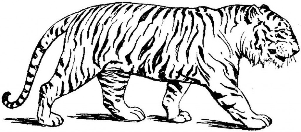 1024x451 Tiger Coloring Pages Realistic Tigers Coloring Pages Free