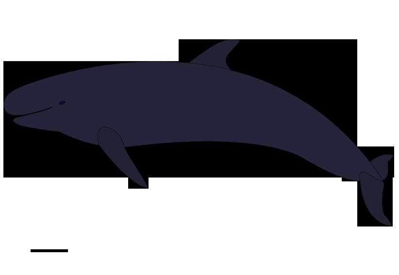 822x567 Picture False Killer Whale