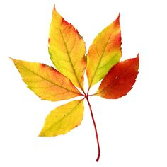236x236 5 Watercolor Autumn Leaf Design Vector Vektory