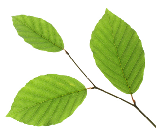321x281 Leaf Clipart Beech Tree