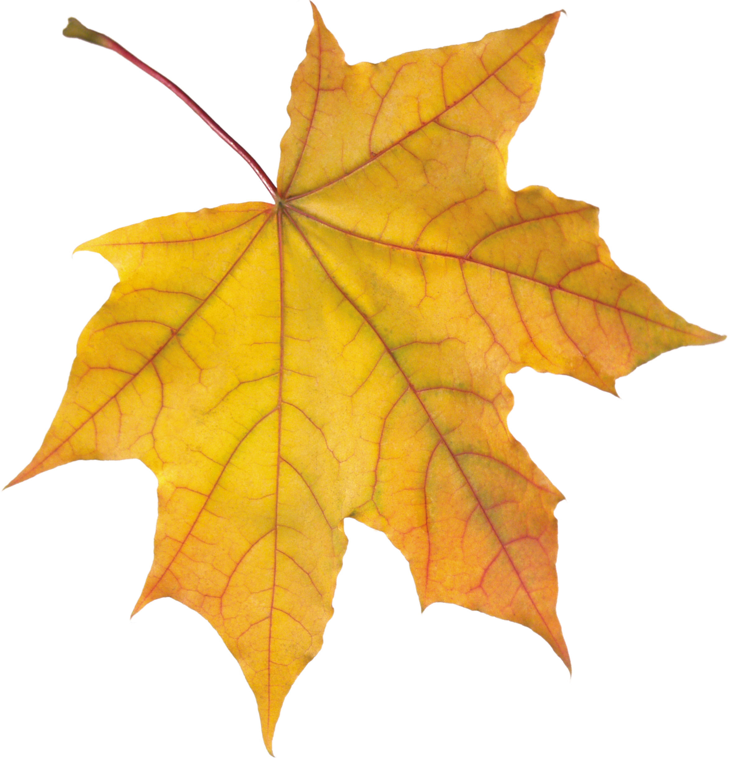 2348x2436 Autumn Leaf Sixteen Isolated Stock Photo By