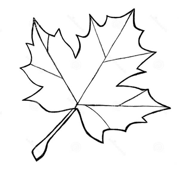 600x624 Best Photos Of Maple Leaf Outline Coloring Page