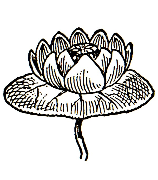 600x684 Whitewater Lily Clip Art Cliparts
