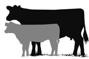 300x200 Livestock Show Clipart