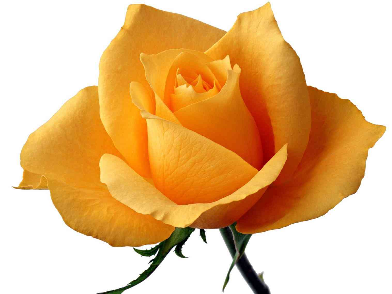 Single Rose Clipart: Free Download Best Long Stem Rose