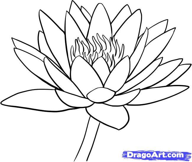 650x549 Drawn Lotus Water Drawing