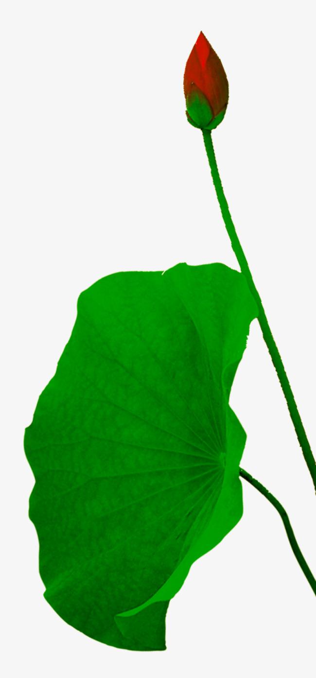 650x1395 Green Lotus Leaf, Green, Green Leaves, Lotus Leaf Png Image