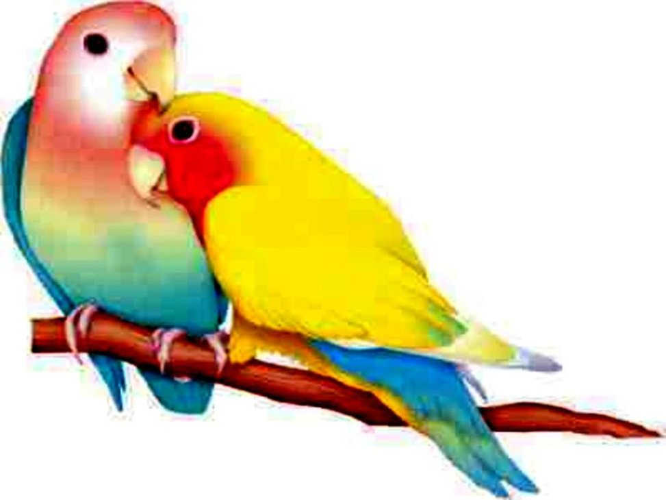 973x730 Lovebird Clipart Beautiful Bird