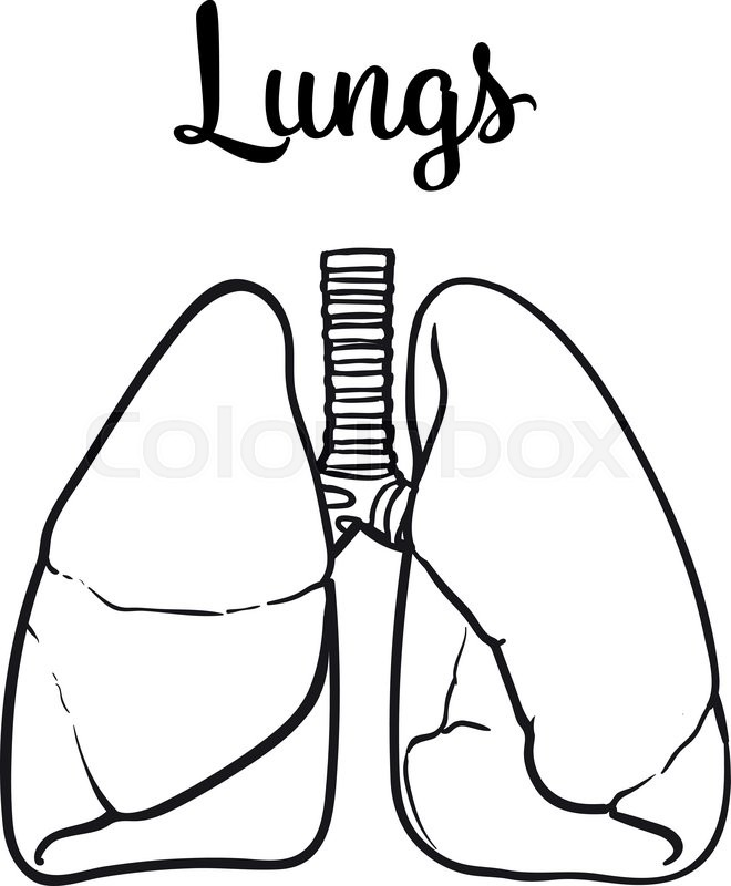 660x800 Sketch The Lungs, Vector Sketch Hand Drawn Illustration Isolated