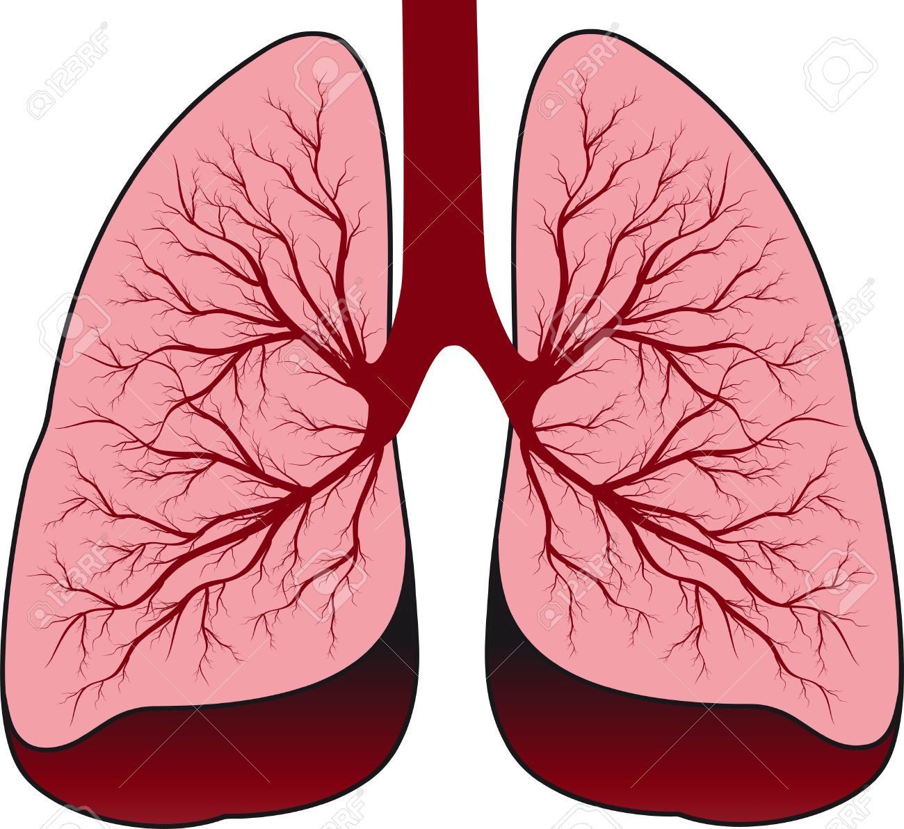 1300x1191 Clipart Of Human Lungs
