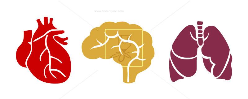 800x320 Human Internal Organs Brain,lungs,heart Free Vectors