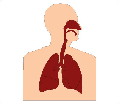 401x351 Organs Clipart Respiratory System