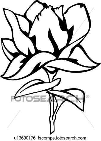 339x470 Clip Art Of , Flower, Magnolia, Varieties, U13630176