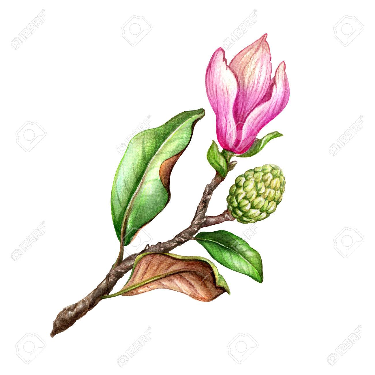 1300x1300 Watercolor Illustration, Pink Magnolia Flower, Floral Design