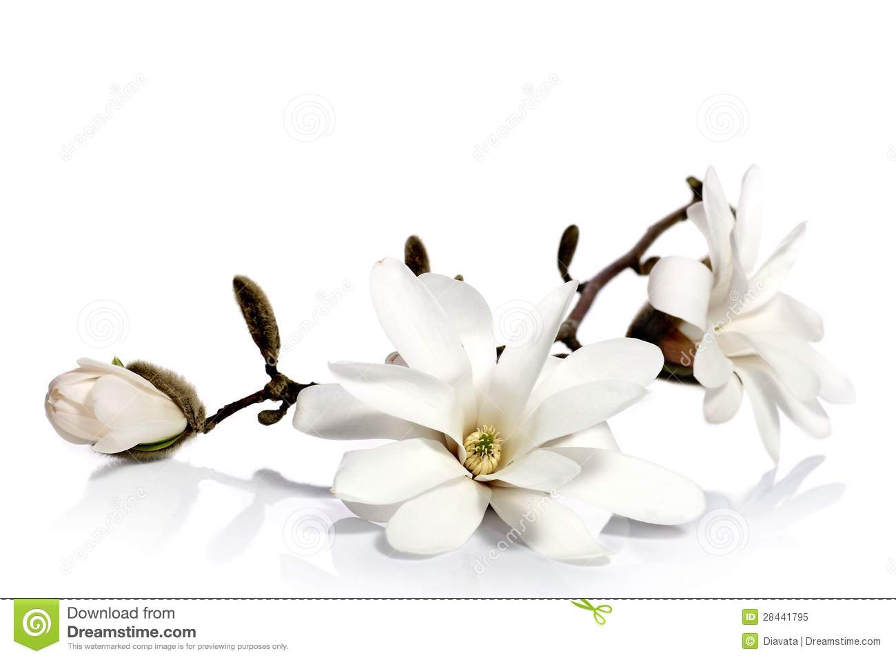 Magnolia Flower Clipart Free Download Best Magnolia Flower Clipart