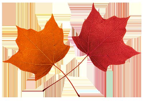 502x353 Autumn Maple Leaf Clip Art