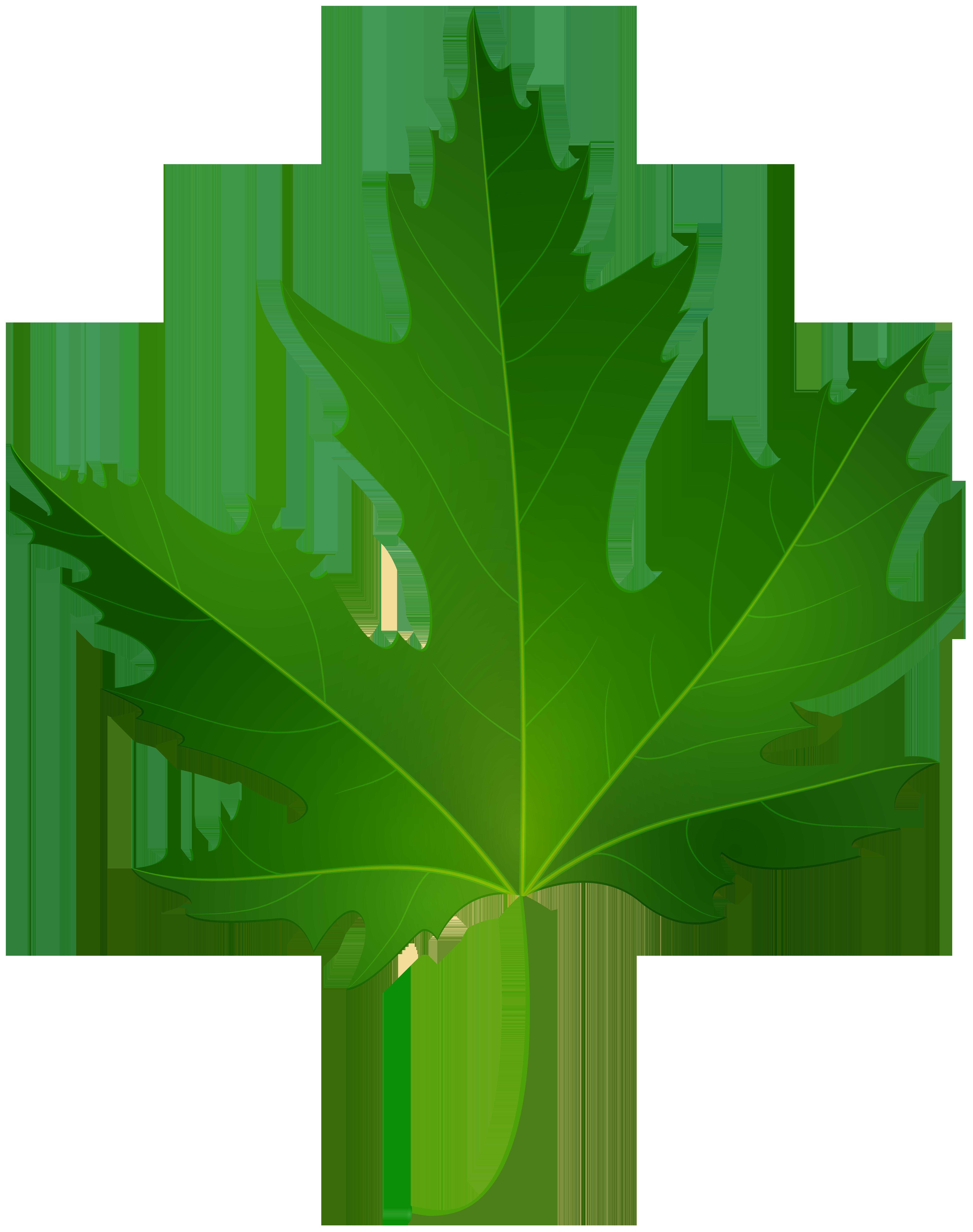 6317x8000 Maple Leaf Png Clip Art