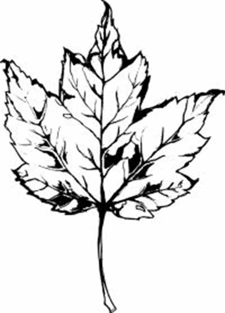 Maple Leaf Clipart Black And White