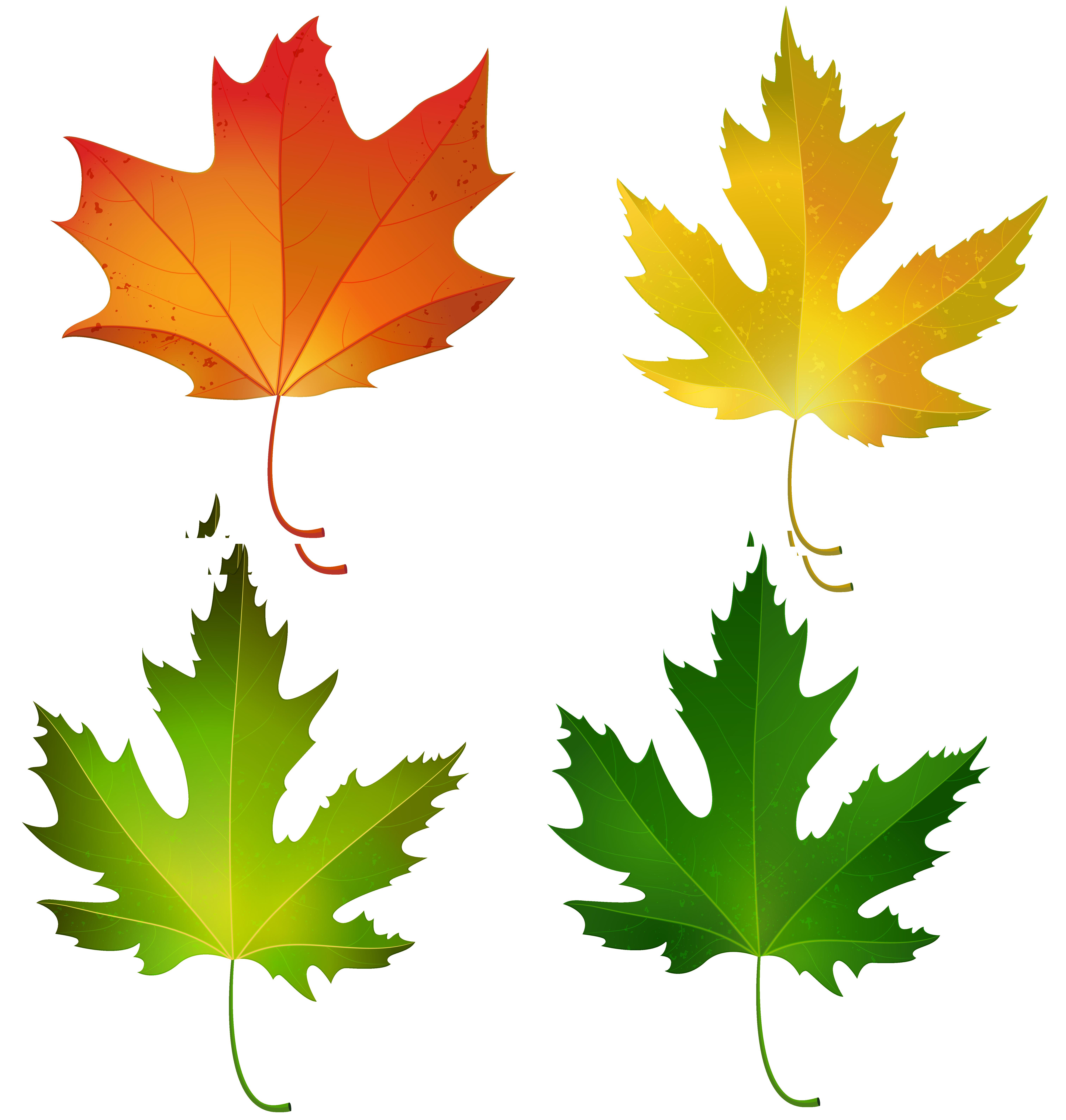 6053x6360 Clip Art Maple Leaves Clip Art