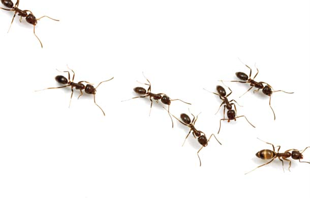 610x389 Image Result For Ants Marching Tattoo Ideas Ant
