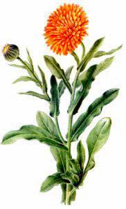 182x300 Free Marigold Clipart