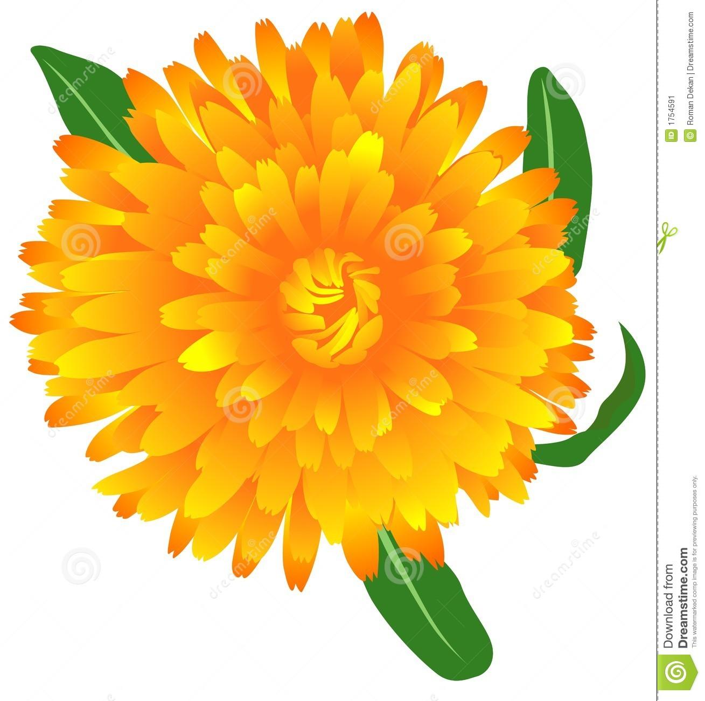 1309x1300 Marigold Clipart