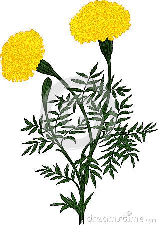 316x450 Marigold Clipart Drawing