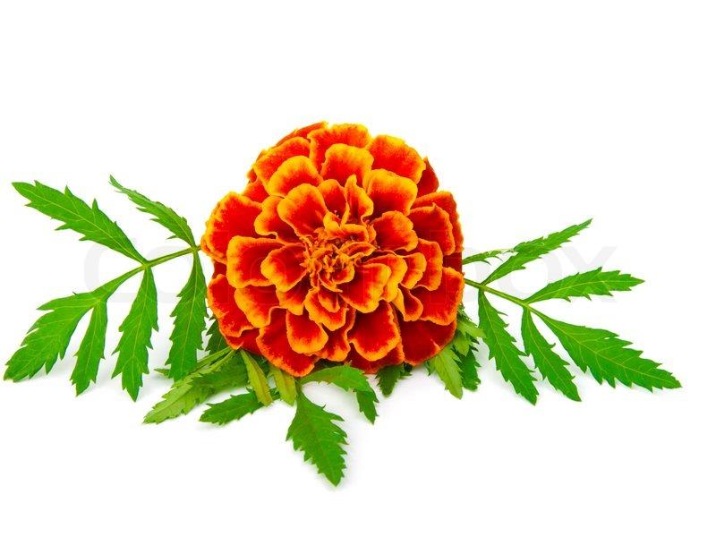 800x600 Orange Flower Clipart Marigold