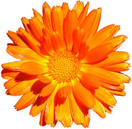 269x264 Planting Marigolds Cliparts 245355