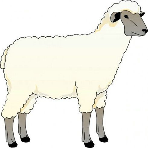 490x489 Pictures Of Sheep