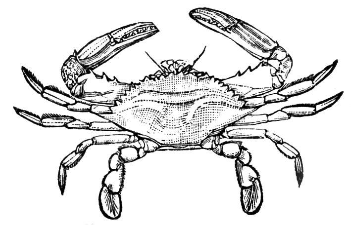 709x456 Drawn Crab Maryland Crab