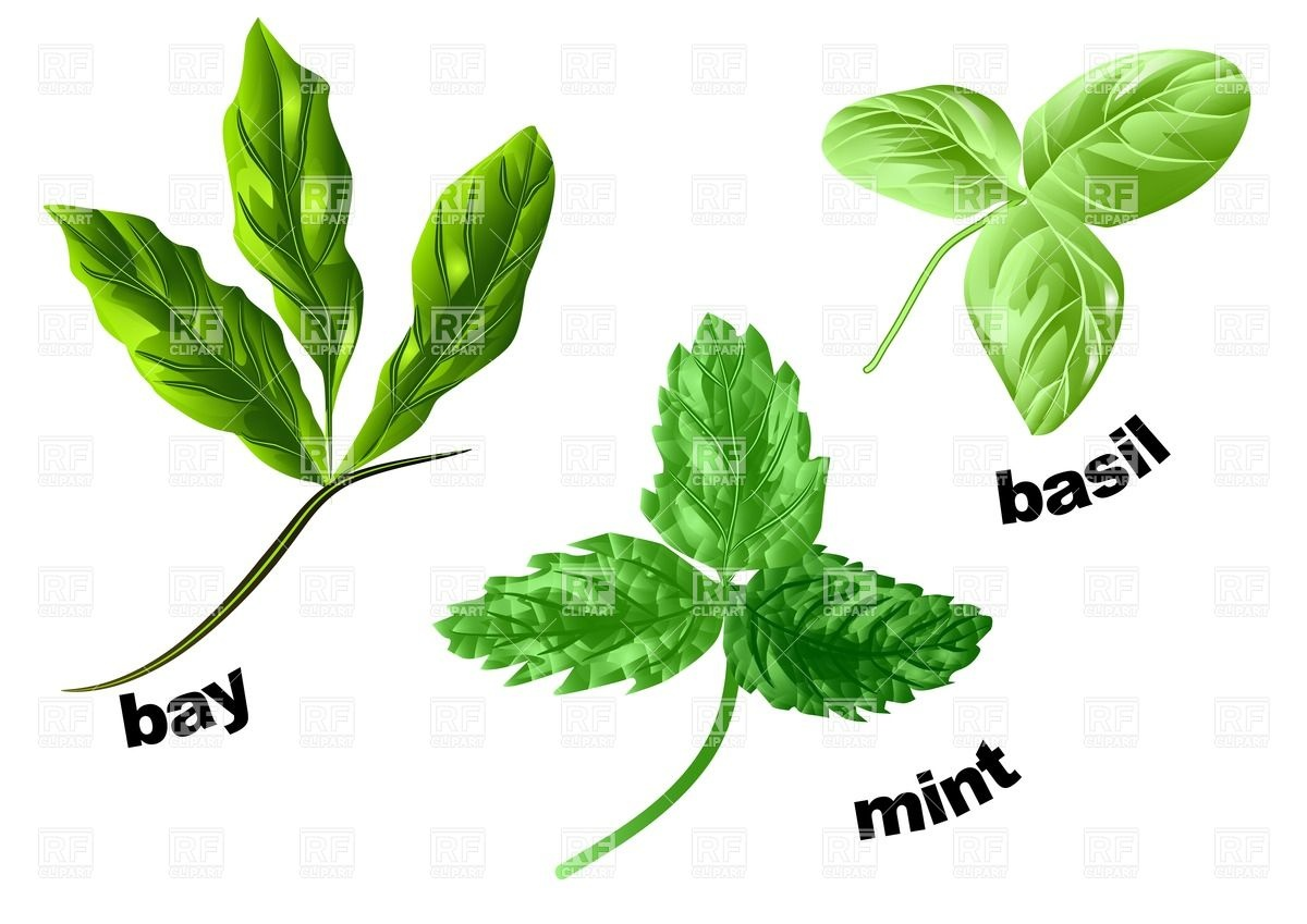 1200x849 Herbs Mint, Basil And Bay Isolated On A White Royalty Free Vector
