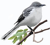 170x153 Stock Illustration Of Northern Mockingbird K2830298