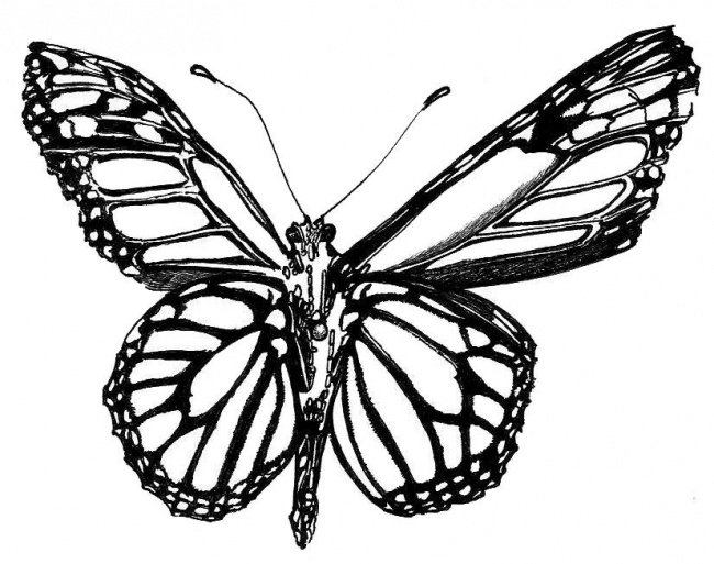 650x513 Drawn Butterfly Black And White