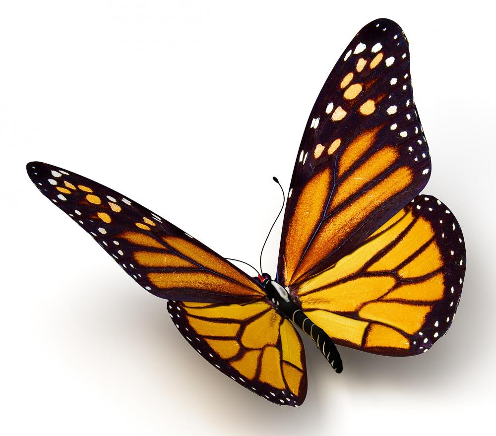 1000x879 Monarch Butterfly Drawings