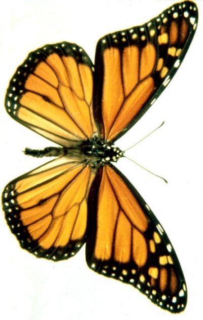 400x631 66 Best Monarch Butterflies Images Abstract