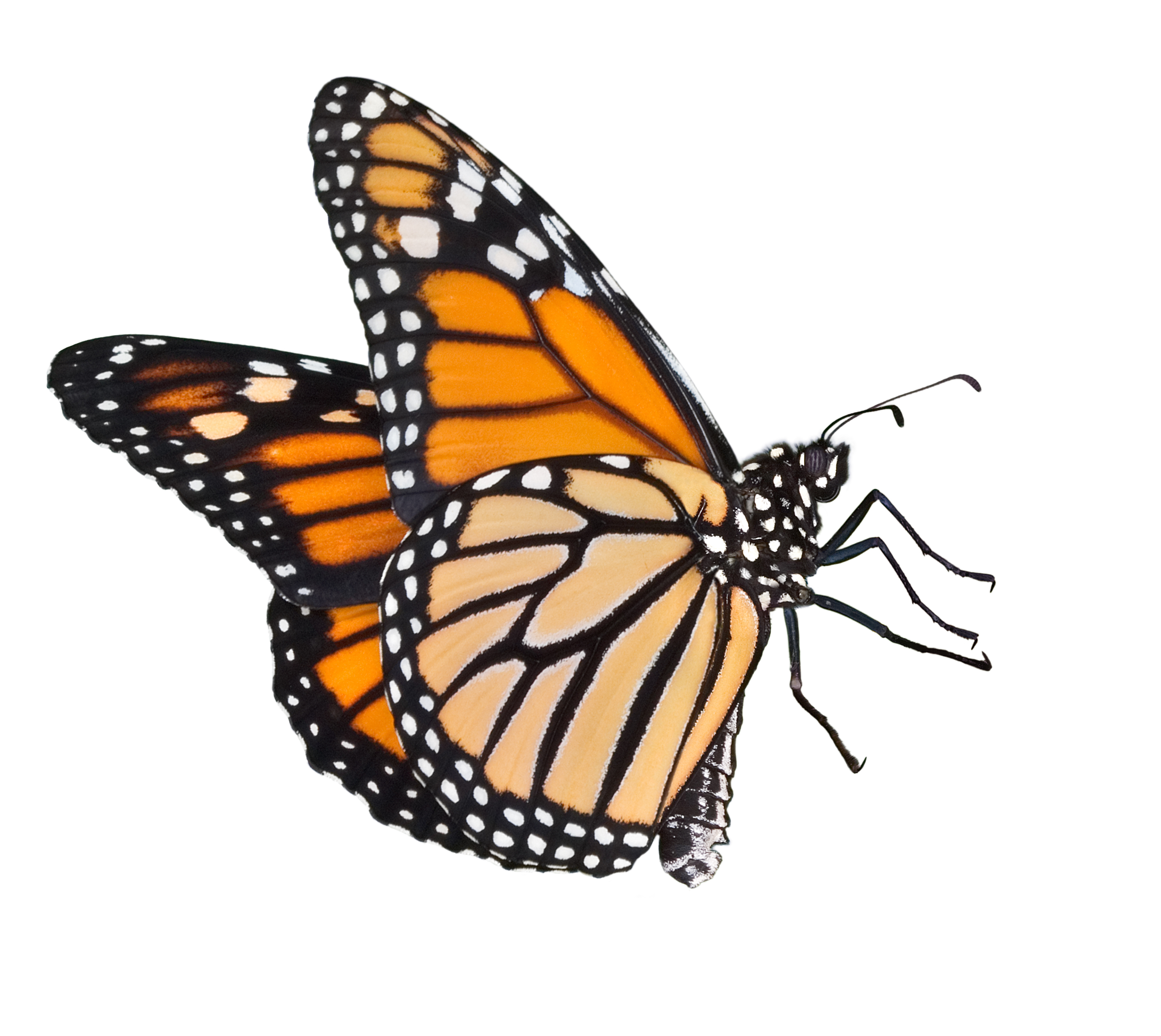 2832x2528 Monarch Butterfly Clipart Outline