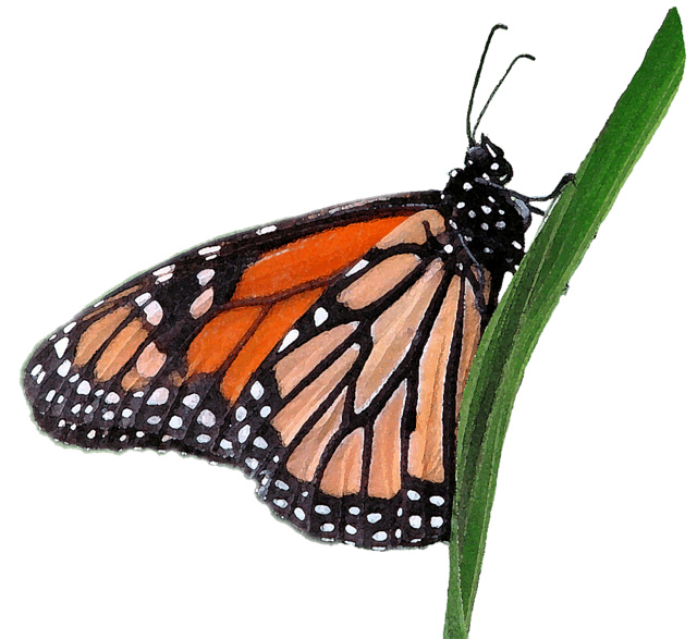 640x587 Monarch Butterfly Clipart Free