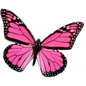 300x300 Pink Butterfly. Hes A Male! Ask Me How I Know! Pretty Pinks