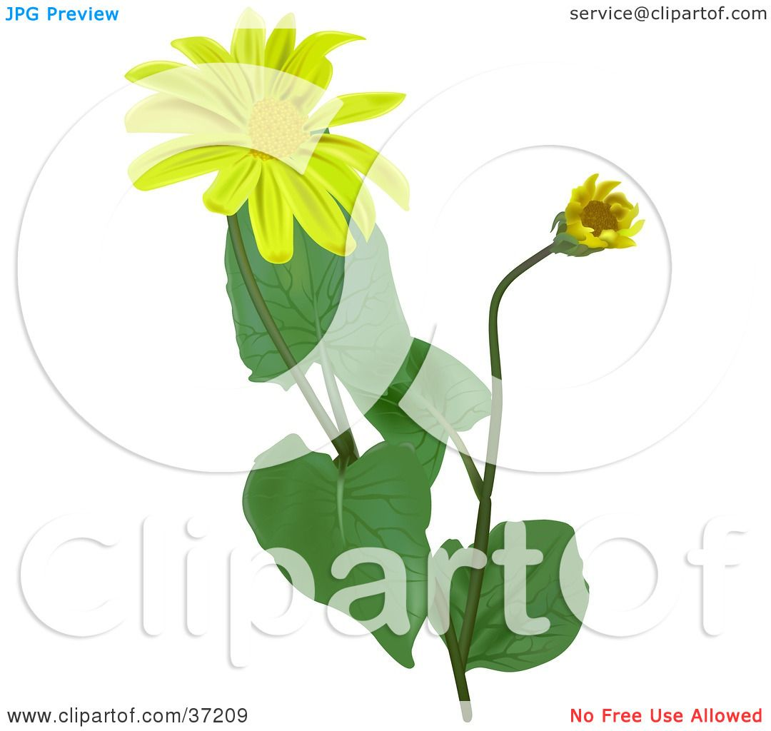 1080x1024 Clipart Illustration Of Blooming Leopard's Bane, Wolf's Bane