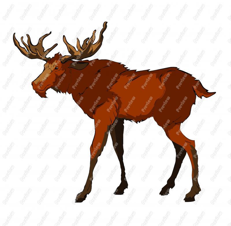 800x785 Realistic Moose Clip Art