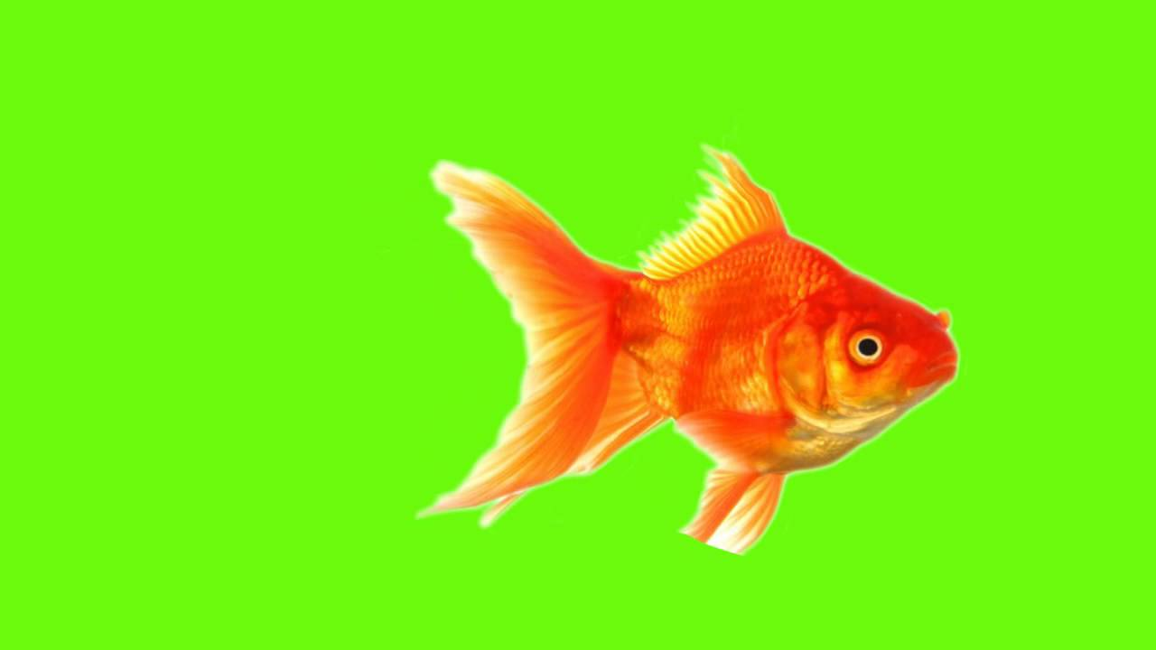 1280x720 Green Screen Gold Fish Moving Of Bs Animations