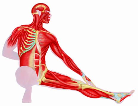 464x355 Clipart For The Muscular System