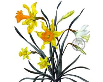 340x270 Daffodil Clipart Etsy Studio