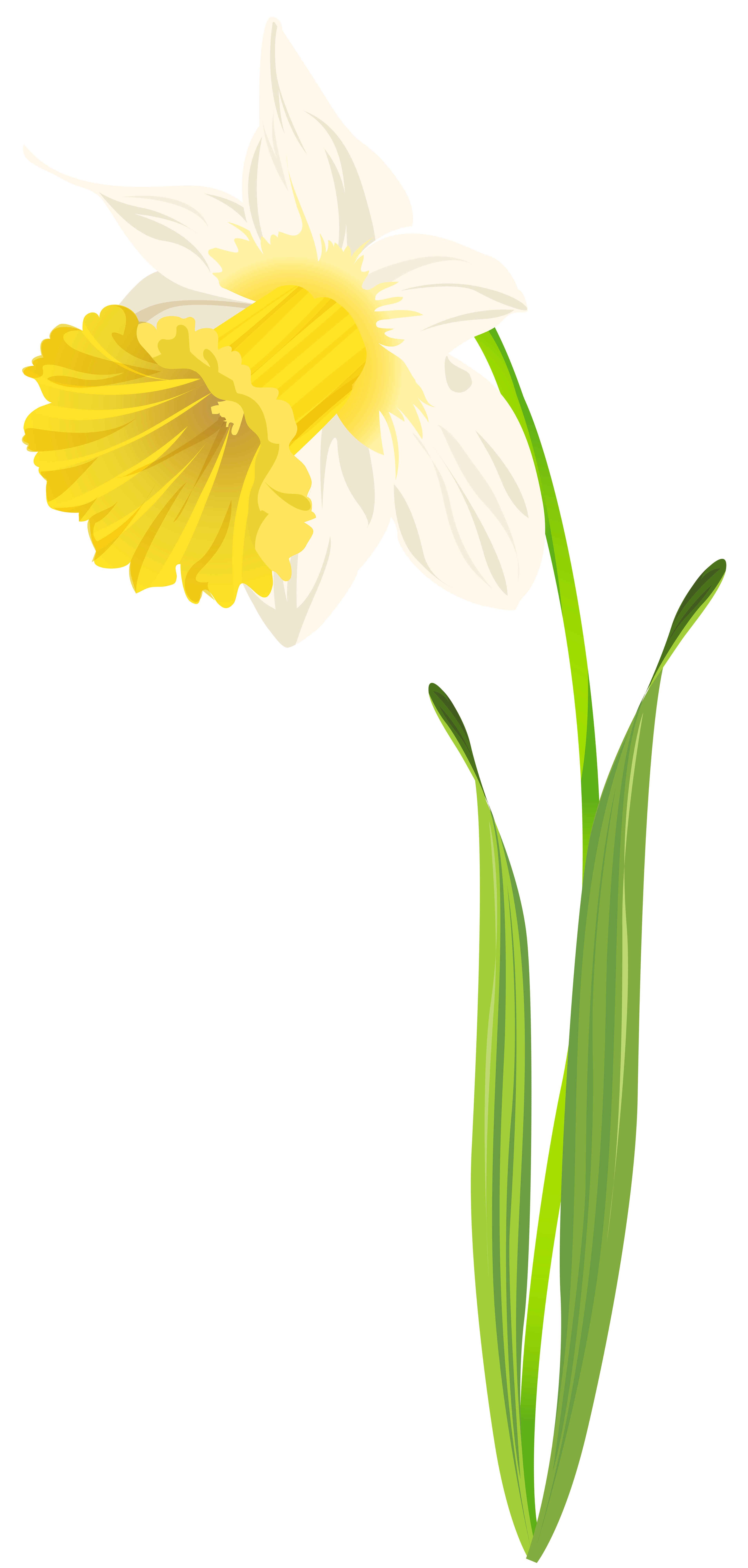 3817x8000 Daffodil Png Clip Art Image