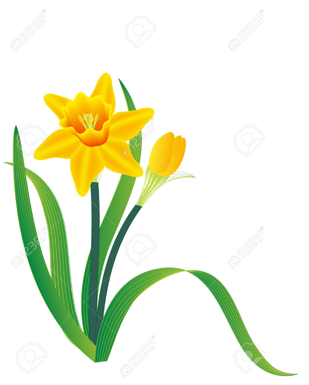 1044x1300 Daffodil Clipart Vector