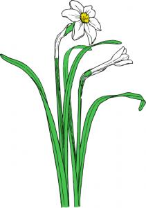 211x300 Narcissus Clip Art Download