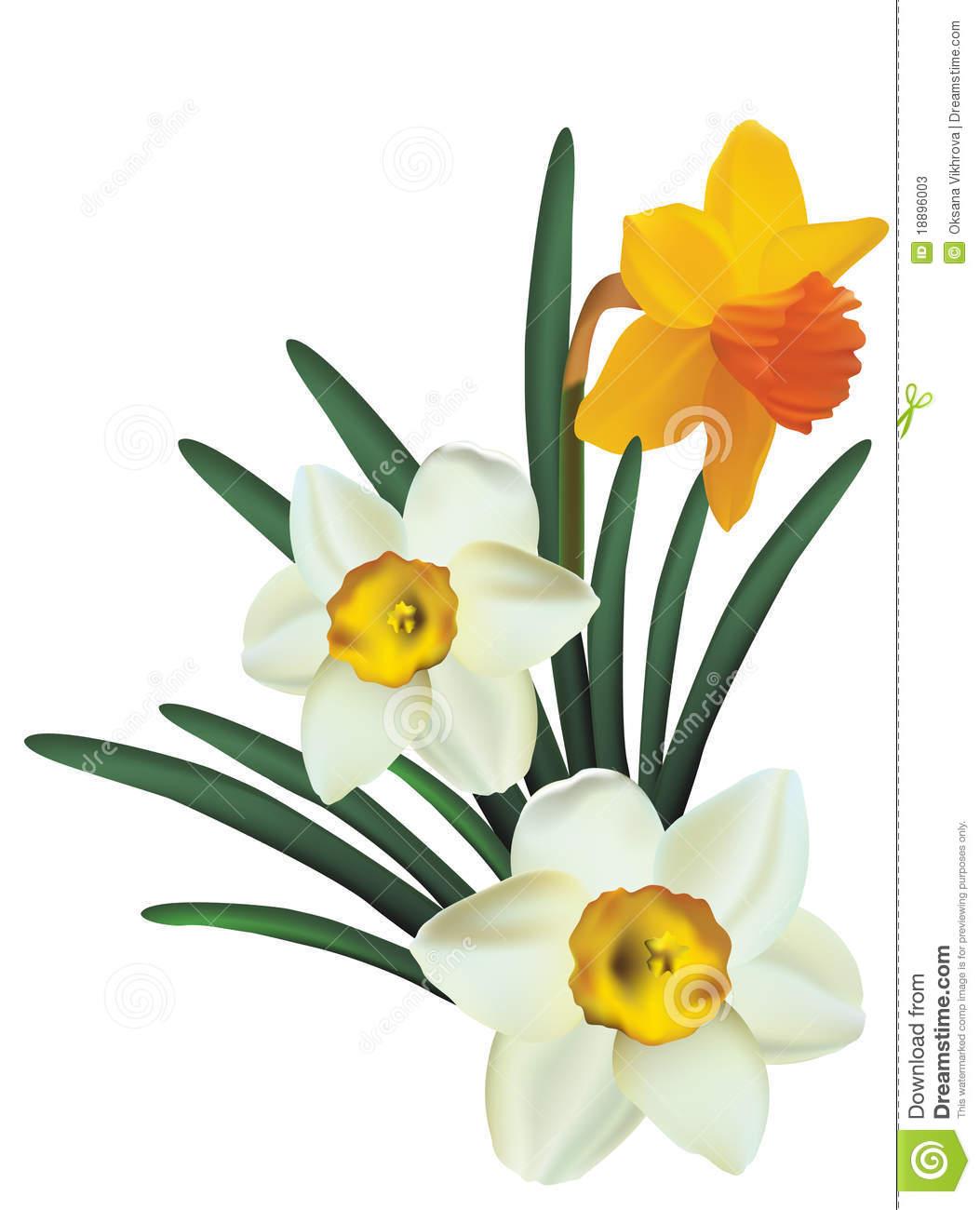 1053x1300 Narcissus Clipart