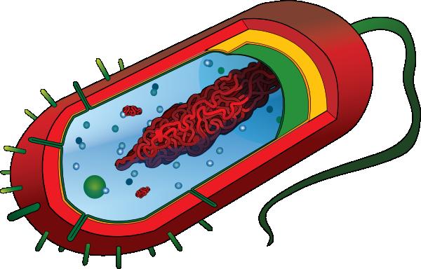 600x384 Bacterial Cell No Labels Clip Art
